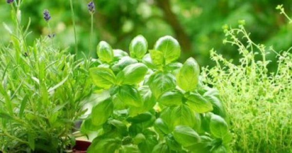 Ποιο ελληνικό βότανο σας προστατεύει από καρκίνο και διαβήτη;