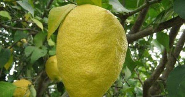 Η θεραπεία του λεμονιού – Το λεμόνι που σώζει