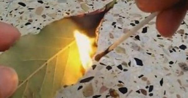 Μεγάλη προσοχή: Κάψτε αμέσως ένα φύλλο δάφνης στο σπίτι σας! Ο λόγος θα σας τρελάνει τελείως…