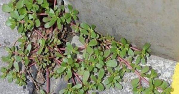 Αν δείτε αυτό το «αγριόχορτο» στην αυλή σας, μην το βγάλετε! Δείτε γιατί…