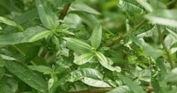 «Χόρτο του Θεού» – Το θαυματουργό βότανο!