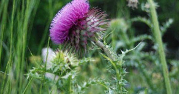 Γαιδουράγκαθο! Βότανο για αποτοξίνωση με εξαιρετικές ιδιότητες στην υγεία