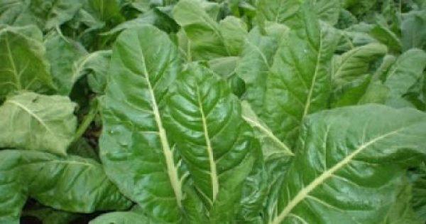 Σέσκουλα ή λαχανίδες, με αντιοξειδωτικές και αντικαρκινικές ουσίες και κατάλληλα ακόμα για τα μάτια, το σάκχαρο, το έντερο