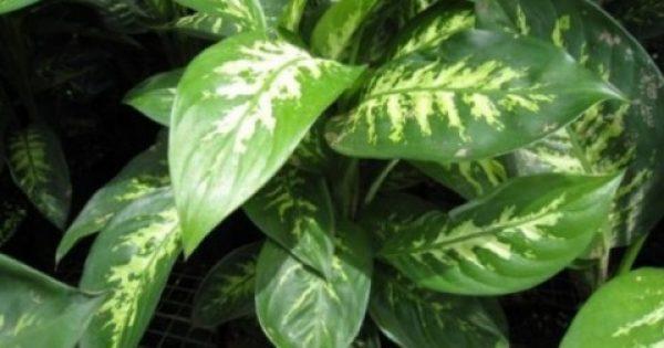 ΠΡOΣOΧH: Έχετε αυτo τo φυτo στo σπiτι σας; – Πετάξτε τo τώρα!
