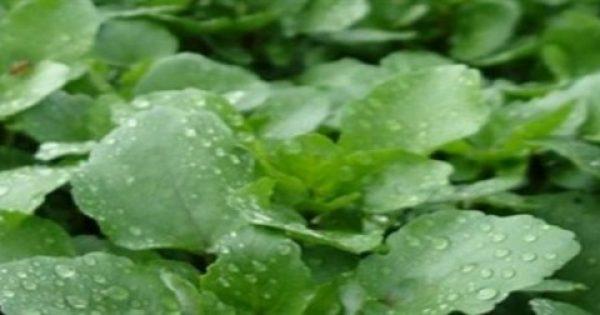 ΑΠΙΣΤΕΥΤΑ ΤΑ ΟΦΕΛΗ ΤΟΥ! Είναι το πιο υγιεινό λαχανικό στον κόσμο κι όμως…κανείς δεν το τρώει!