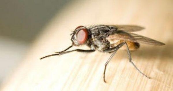 Μύγες ΤΕΛΟΣ – Εξαφανίστε τις Μύγες από το Σπίτι σας, με Αυτό το Απίστευτο Κόλπο!