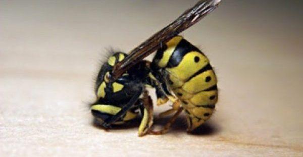 Πρώτες βοήθειες για τσίμπημα μέλισσας, σφήκας ή σφίγγας ή σφήγκας. Αντιμετώπιση με φυσικά μέσα. Πρόληψη αλλεργικής αντίδρασης